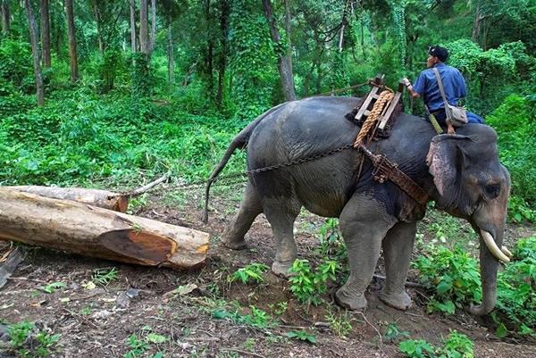 缅甸是东南亚地区唯一仍旧利用大象帮助伐木的国家,重型机器的利用会对森林造成更大的破坏。