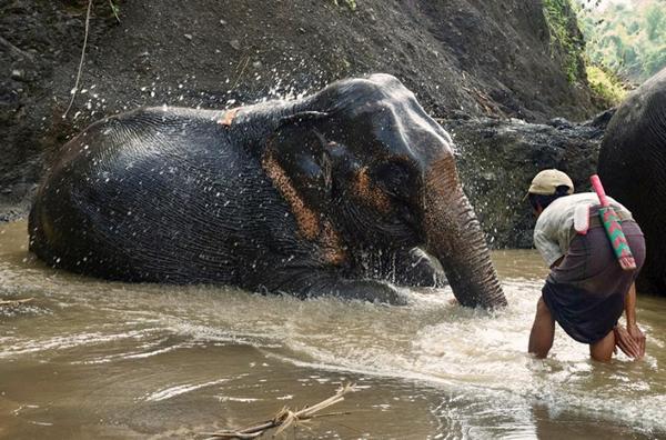 每天洗澡对维护伐木象的卫生安全十分重要,同时这也有利于巩固驯象人与大象之间的纽带。