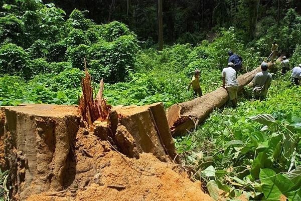 目前缅甸的森林覆盖率已降到30%以下,政府采取了严厉的措施来保护丛林以及大象免受非法采伐的迫害。