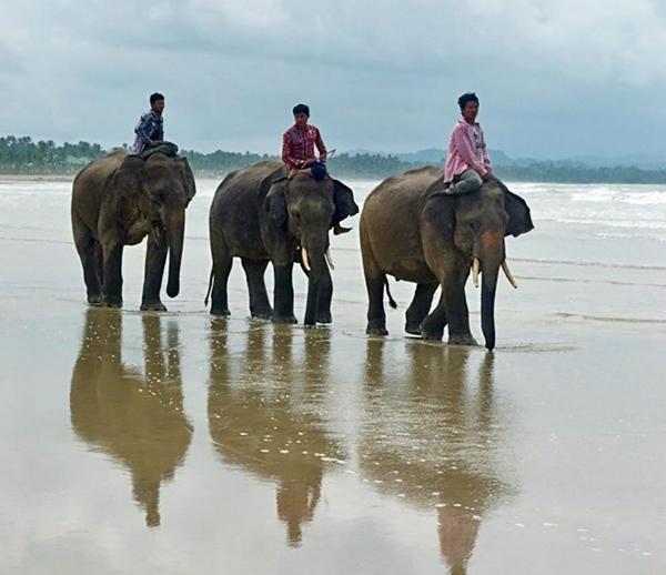 由于缅甸严厉的采伐限制,伐木象的责任也随之减轻,其中一些大象更可能会被放归自然。