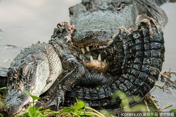 短吻鳄将同类咬成两截