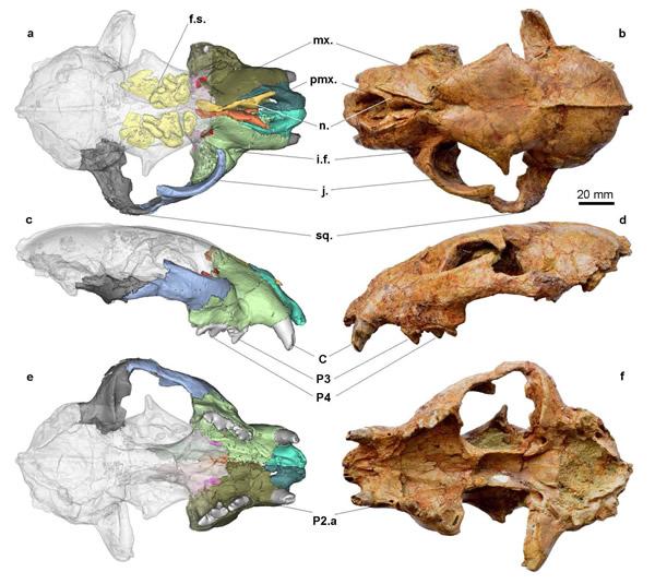 布氏豹Panthera blytheae的正形标本(曾志杰供图)