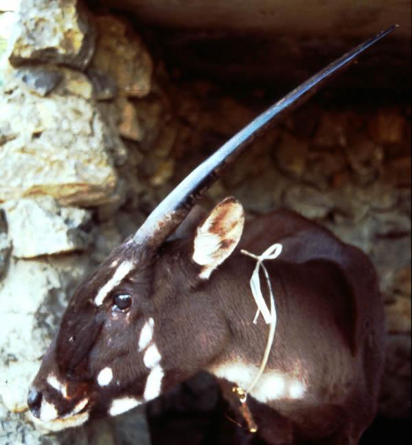 1996年发现的雌中南大羚