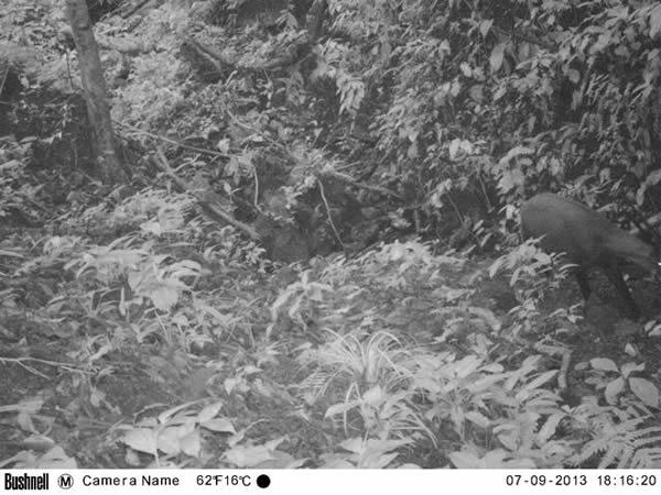 2013年9月7日拍摄到的照片显示了一只中南大羚在越南中央安南山脉遥远的多岩石森林山谷溪流边移动。