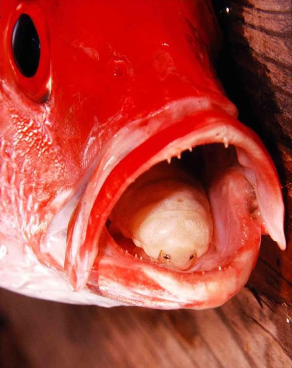 寄生在玫瑰鲷鱼口中的缩头鱼虱