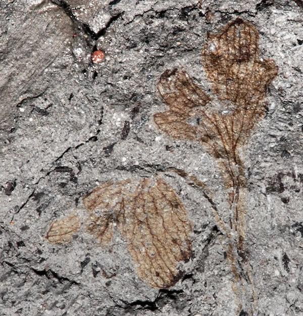 史密森尼自然历史博物馆收藏中发现北美最古老的双子叶开花植物化石