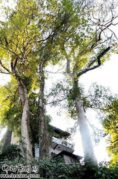 湖南资兴发现楠木古树群