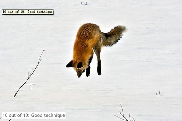 狐狸在冰天雪地中捕食的有趣场景