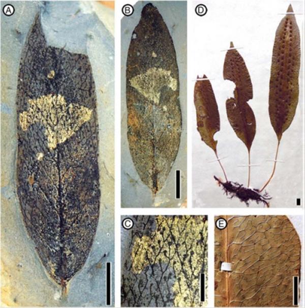 化石和现代星蕨. A–C, Palaeosorum ellipticum F. M. B. Jacques & Z. K. Zhou (A, C,模式标
