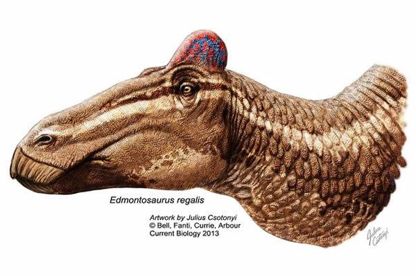 鸭嘴龙头骨化石上发现类似鸡冠的肉冠