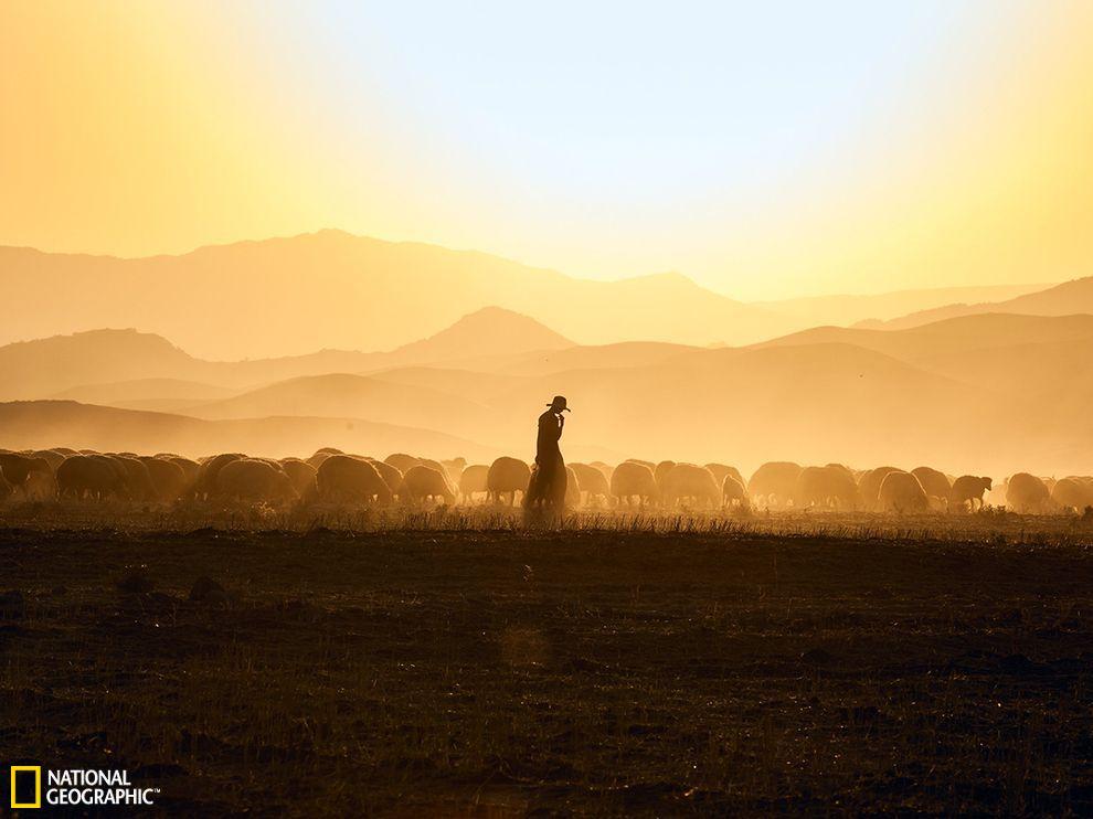 欣赏 每日/伊拉克一位牧羊人和他的羊群