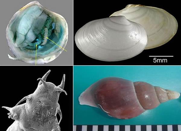 科学家在苏格兰海底发现四支新物种,其中包括:一种大型海螺、两种蛤类和一种海生蠕虫。