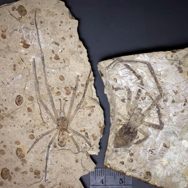 已知最大的蜘蛛化石(雄性在左,雌性在右)属于一个新的已灭绝蛛形纲生物Mongolarachne jurassica。