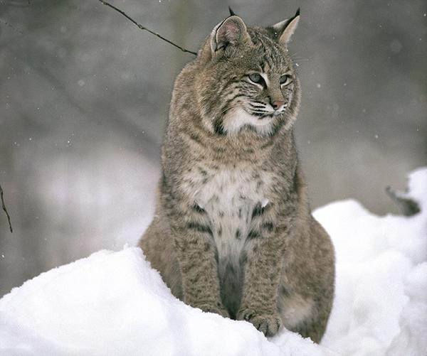 麝鼠不畏强敌大战山猫最后战死沙场