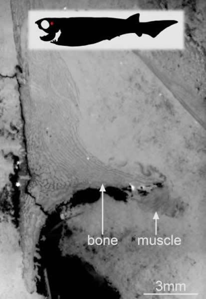 6月 盾皮鱼纲(板皮類、Placodermi)的腹肌的确认