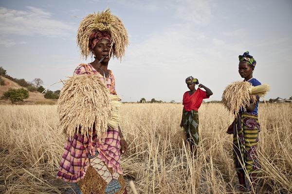 妇女们一起收割庄稼。其中一人在割完水稻后,将刀含在嘴里,用头和手把尽量多的水稻送到田地外面的堆放处。