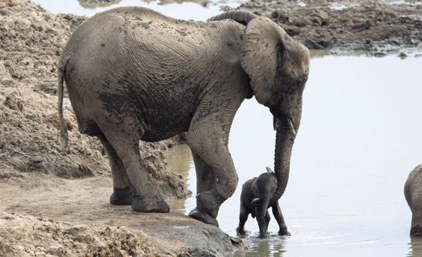 津巴布韦万基国家公园大象妈妈泥沼营救宝宝