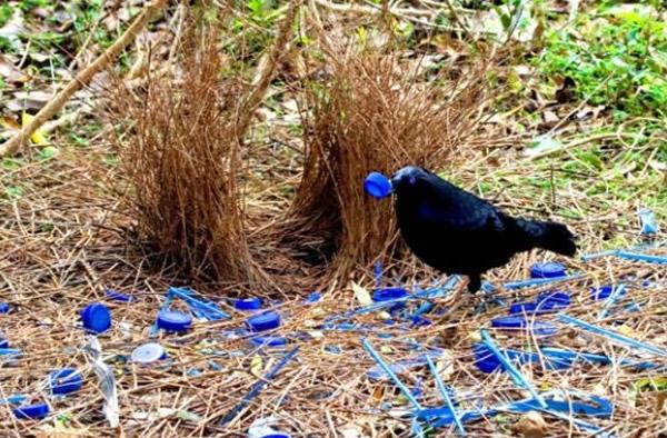 雄性园丁鸟是非常杰出的建筑师,造精美爱巢吸引雌性