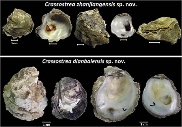 湛江牡蛎与电白牡蛎形态特征