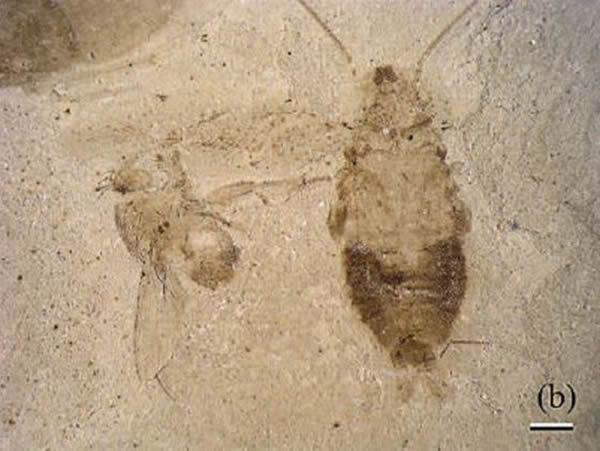一只完整的Ectobius kohlsi 的化石(右侧)