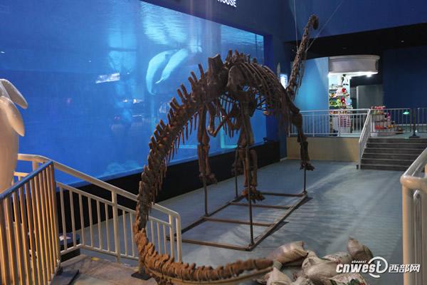 四川自贡恐龙博物馆运来的国宝级恐龙化石已在极地馆震撼登场