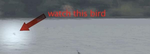 非洲猛鱼捕食飞行鸟类