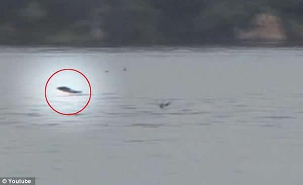 一条非洲虎鱼突然跃出水面,捕食空中飞行的燕子。