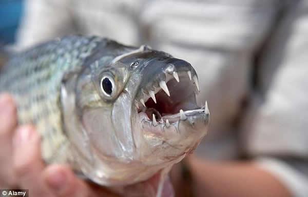 津巴布韦捕捉到的一条虎鱼,长着锋利的牙齿。