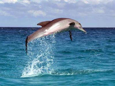 Dolphins Are 10 Times Stronger Than Human Athletes