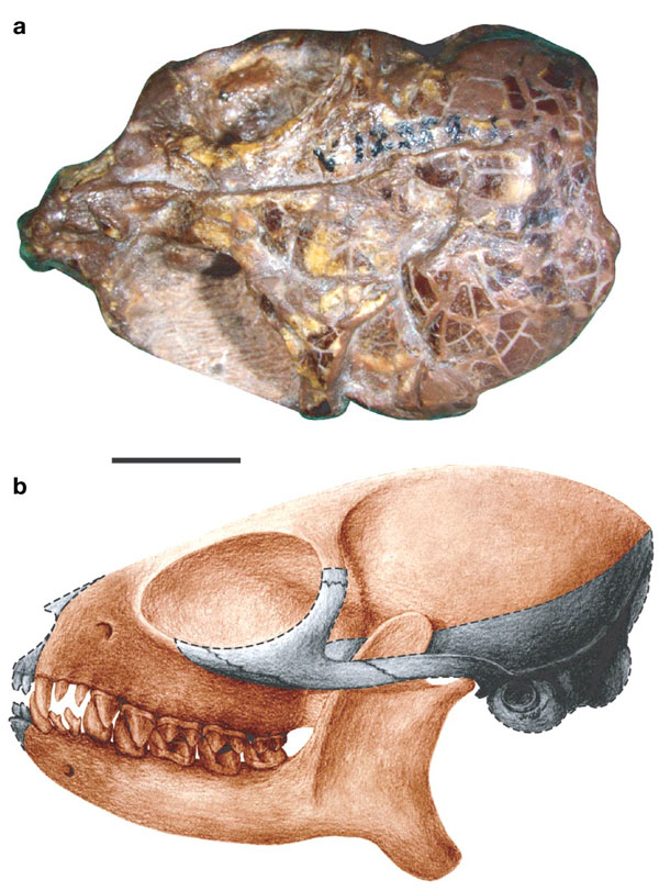 亚洲德氏猴头骨化石