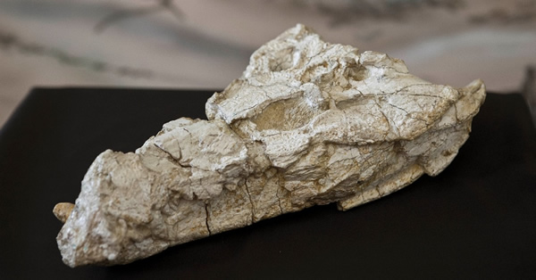 Sahitisuchus fluminensis的化石