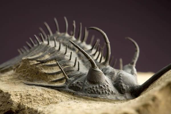 三叶虫化石