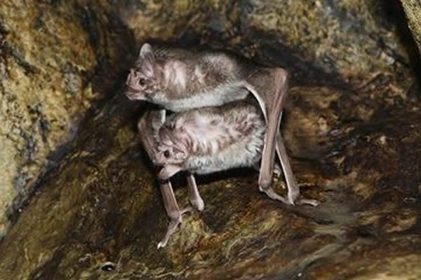 探索蝙蝠交配之谜