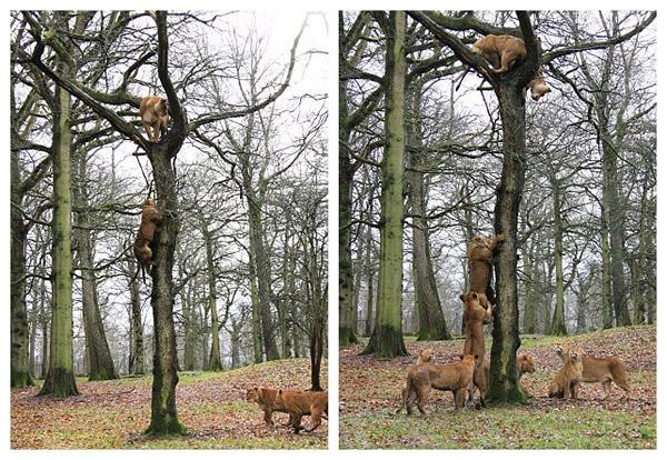 英国野生动物园三头狮子爬上一棵高大的日本邪恶少女漫画我把橡树