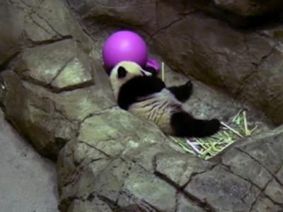 Panda Cub Bao Bao Debuts at National Zoo