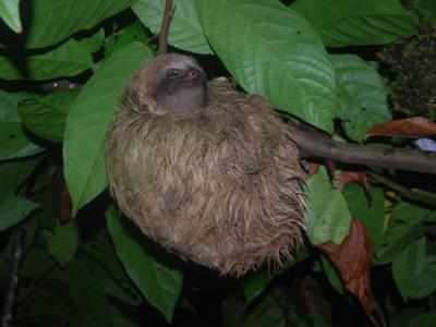 Sloths' Dirty Bum Fur Grows Nutritous Algae