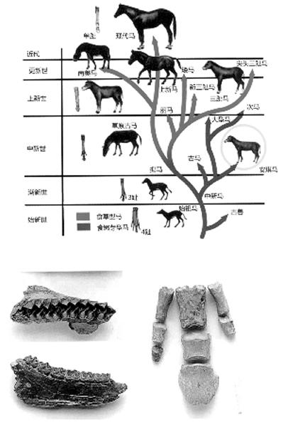 安琪马化石