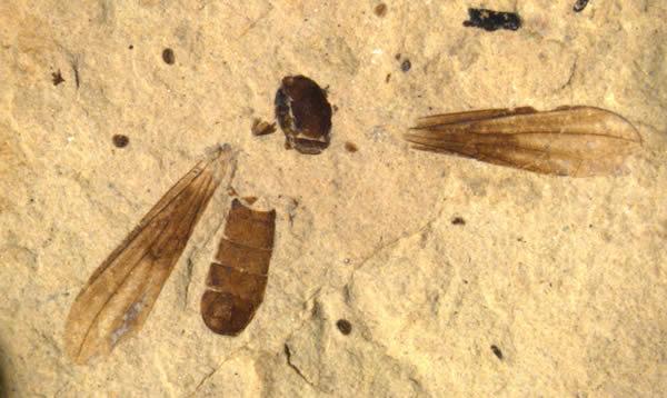 新头蝇物种化石Metanephrocerus belgardeae发现于瓦什科尔维尔