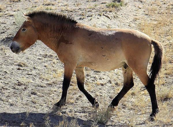马类发展史:世界唯一野马曾存新疆引多国抢夺