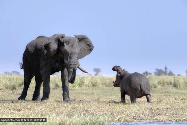 非洲博茨瓦纳:河马咆哮大象