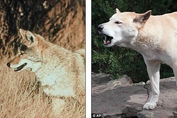 最新发现的吸血怪兽出没事件很可能就是一些杂交野狗,或者仅是一些毛发脱落的生病郊狼。