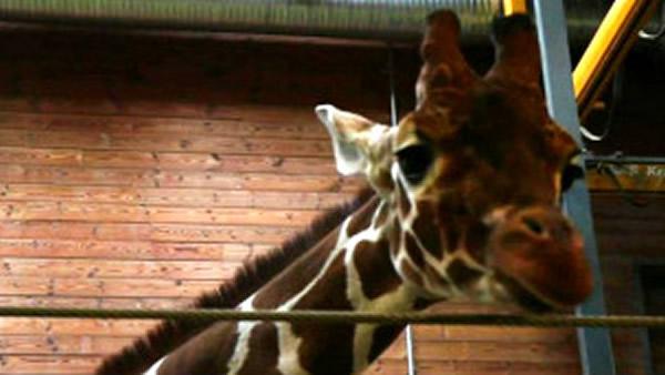 这头长颈鹿完全不知道自己即将被处死