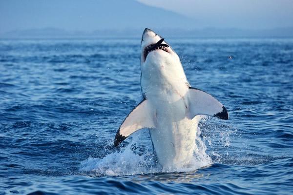 南非大白鲨捕食海豹用力过猛崩掉牙齿