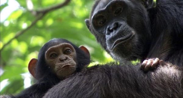 非洲刚果森林发现有上万成员的超大猩猩群 吃猎豹和巨蜗牛