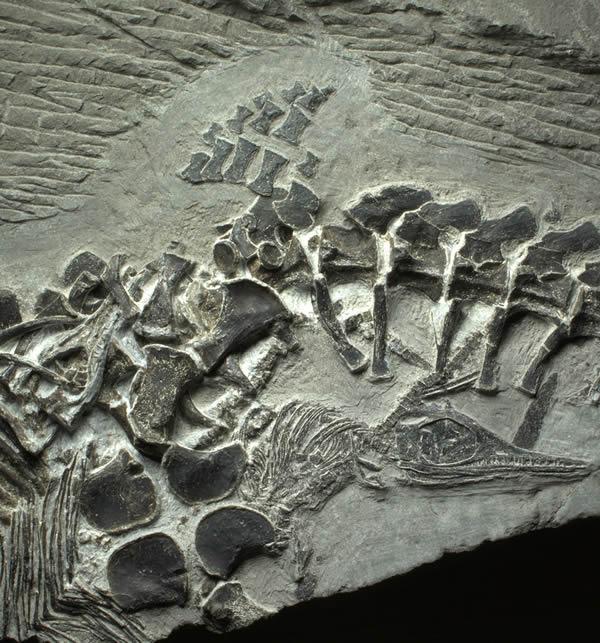 中国安徽采石场发现2.48亿年前爬行动物分娩化石