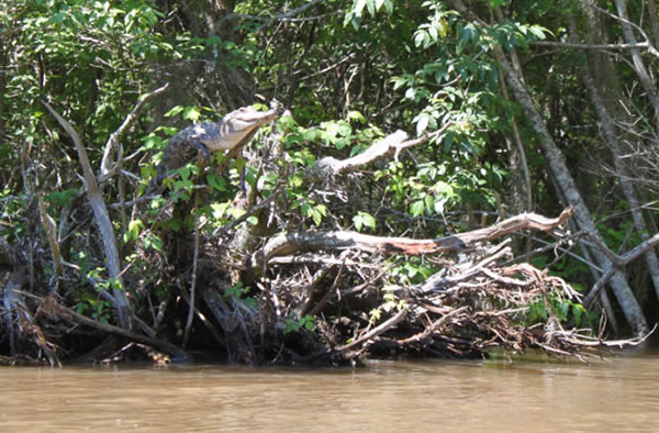 最新研究发现鳄鱼具备爬树能力