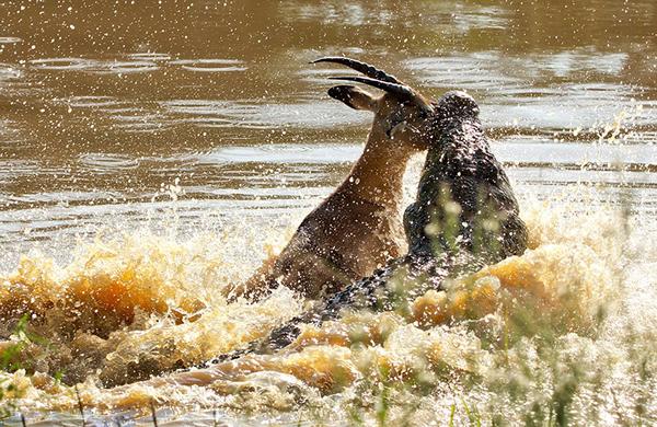 这张图展示了令人惊恐的一瞬间,无情的鳄鱼攻击并且很快杀死了一只试图过河的黑斑羚。
