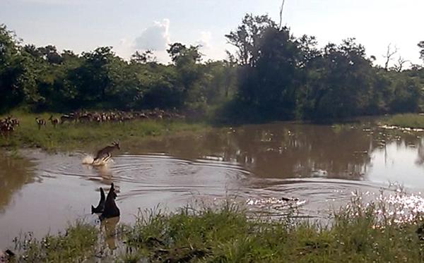 当大部分的种群同胞都在水边犹豫时,这只黑斑羚似乎并没有意识到水中的鳄鱼,它直接下水试图到水的另一岸。