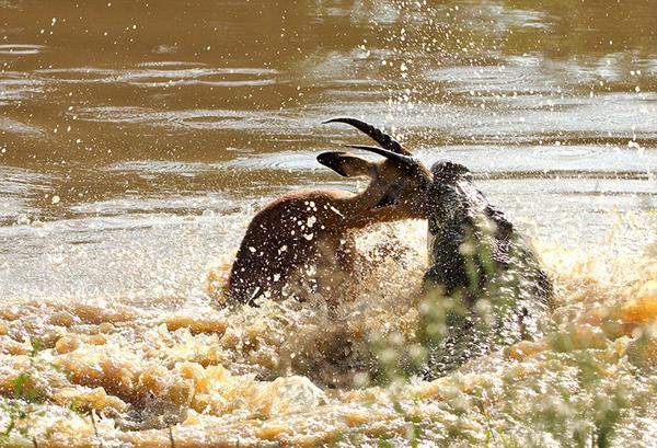 鳄鱼突然跃起,咬住了猎物的头部。