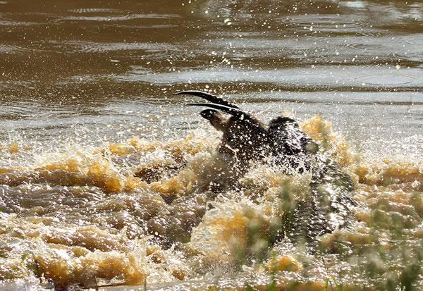 黑斑羚试图挣扎,但是相比于鳄鱼,它显的太过弱小。
